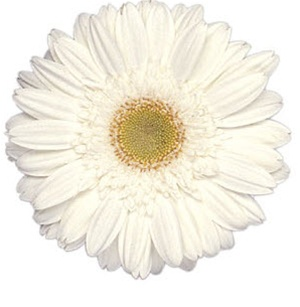 Gerbera daisy white wedding flowers gerbera daisy whiteyellow eye mightylinksfo