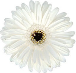 Gerbera daisy white dark eye wedding flowers gerbera daisy white dark eye mightylinksfo