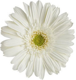 Gerbera daisy white green eye wedding flowers gerbera daisy white green eye mightylinksfo