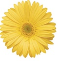 Gerbera Daisy - Yellow