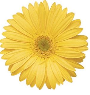 Gerbera Daisy - Yellow Wedding Flowers