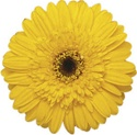 Gerbera Daisy - Yellow - Dark Center