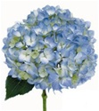 Blue Hydrangea Wedding Flower