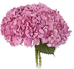 Online Wholesale Bulk Cut Hydrangea Pink