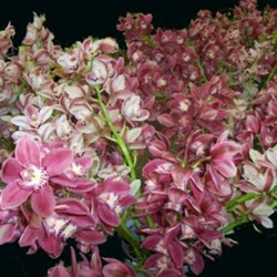 Mini-Cymbidium Orchid - Asst