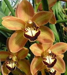 Mini-Cymbidium Orchid - Brown