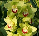 Mini-Cymbidium Orchid - Green