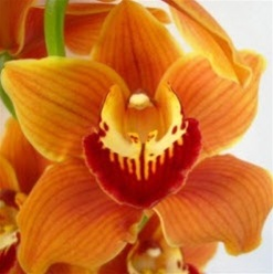 Mini-Cymbidium Orchid - Orange