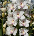 Mini-Cymbidium Orchid - White