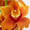 Cymbidium Orchid - Orange