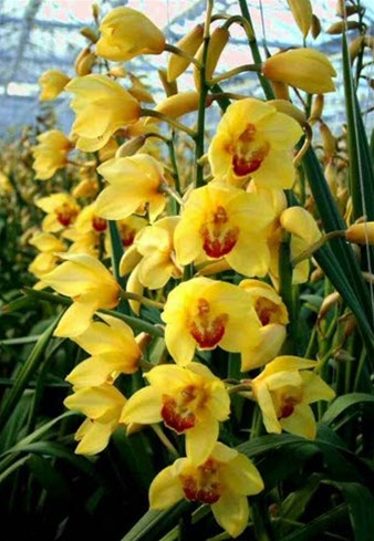 Online wholesale bulk discount cut cymbidium orchid yellow How do you care for orchids after they bloom