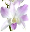 Online Wholesale Bulk Discount Cut Dendrobium Orchid - Blush