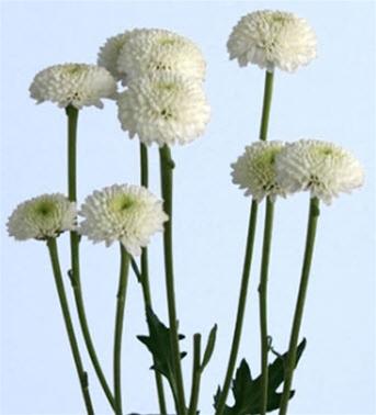 Online wholesale bulk discount button poms flowers button poms white mightylinksfo