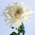 Wholesale Bulk Cremone Mums - White