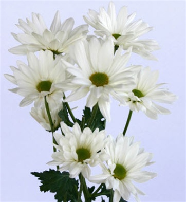 Online wholesale bulk discount white daisy poms flowers white daisy poms mightylinksfo