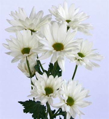 online wholesale bulk discount white daisy poms flowers