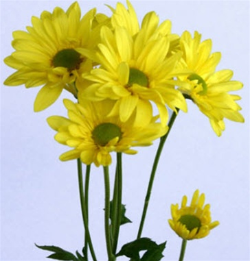 Online wholesale bulk discount yellow daisy poms flowers alternative views mightylinksfo
