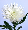 Wholesale Bulk Spider Mums - White