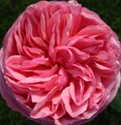 Aphrodite Hot Pink Garden Rose