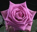 Blue Curiosa Lavender Rose from Colombia and Ecuador