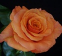 Milva Orange Rose from Colombia and Ecuador