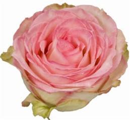 wholesale bulk discount cut roses colombia ecuador esperance pink rose