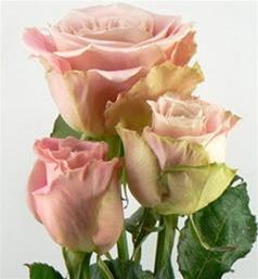 Wholesale Bulk Discount Cut Roses Colombia Ecuador Faith ...