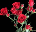 Online Wholesale Bulk Discount Cut Red Fire King Spray Roses