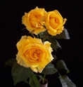 Online Wholesale Bulk Discount Cut Medium Orange Spray Roses