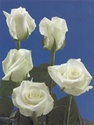 Blizzard White Rose White Rose from Columbia and Ecuador