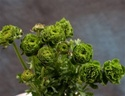Online Wholesale Bulk Discount Cut Ranunculus - Green