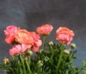 Online Wholesale Bulk Discount Cut Ranunculus -  Peach