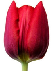 Standard Tulips - Red
