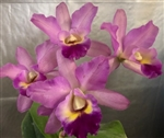 Lc. Secret Love 'Miyagawa'