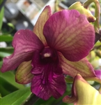 Dendrobium Hybrid, Purple and Green