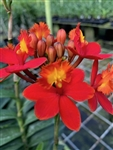 Epidendrum Reed Stem Hybrid - Red