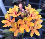 Epidendrum Reed Stem Hybrid - Yellow