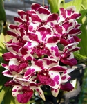 Rhynchostylis gigantea 'Cartoon'