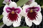 Miltoniopsis White Truffle 'Bright Eyes'