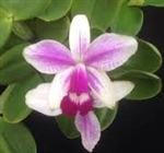 Cattleya violacea var. semi-alba ('Red Berry Creme' 4N x 'Strawberry Snowball')