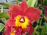 Blc. Onocee x Sunset Sails