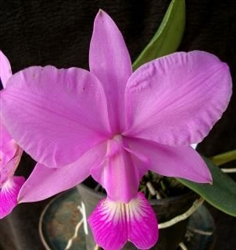 Cattleya walkeriana 'Pink'
