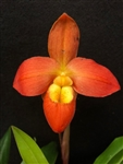 Phragmipedium Ouasine
