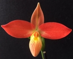 Phragmipedium Jersey