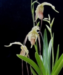 Phragmipedium Paul Eugene Conroy