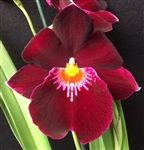Miltoniopsis Red Woodham