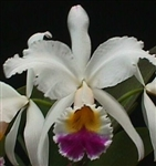 Cattleya gaskelliana semi alba