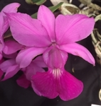Cattleya walkeriana v. Tipo 'The Chairman' AM/AOS x Marjorie HCC/AOS
