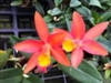 Cattleya Caribbean 'Orange Bowl' species