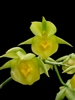 Catasetum expansum species